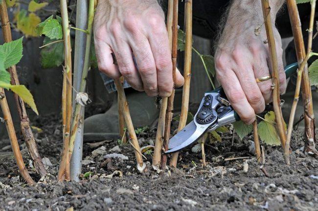 Вырезка побегов малины секатором в весенний период