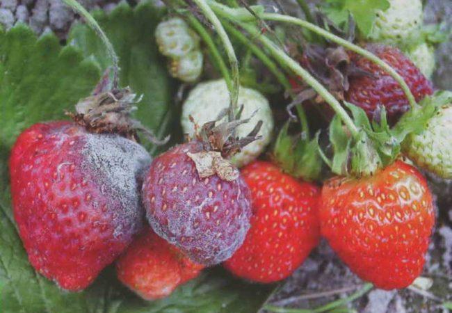 Гниль на ягодах садовой клубники