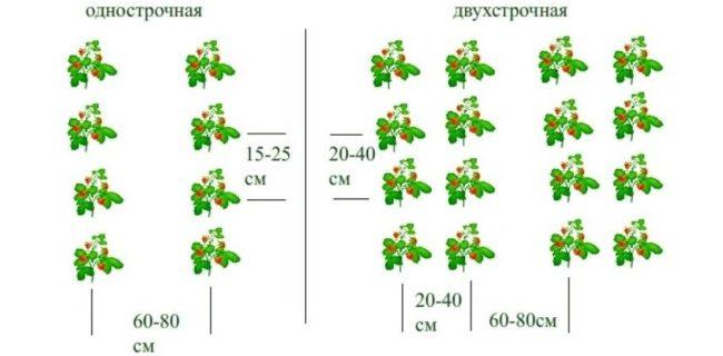 Рекомендуемая схема посадки клубники в открытый грунт