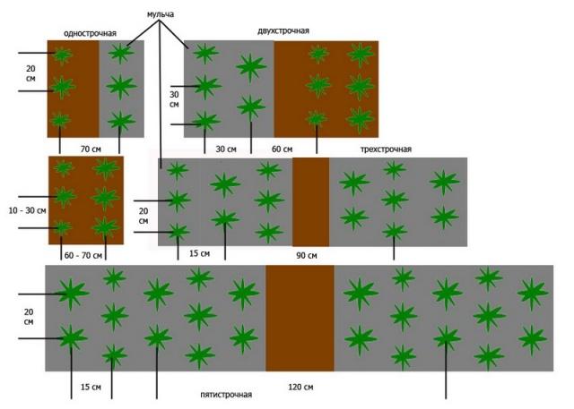 Схемы высадки ремонтантной клубники: однострочная, в две или в три строки