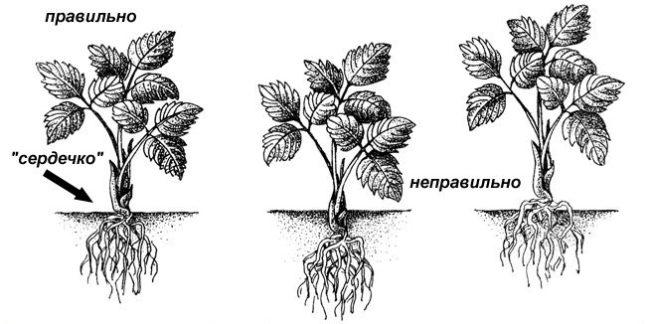 Схема посадки саженца малины Вольница