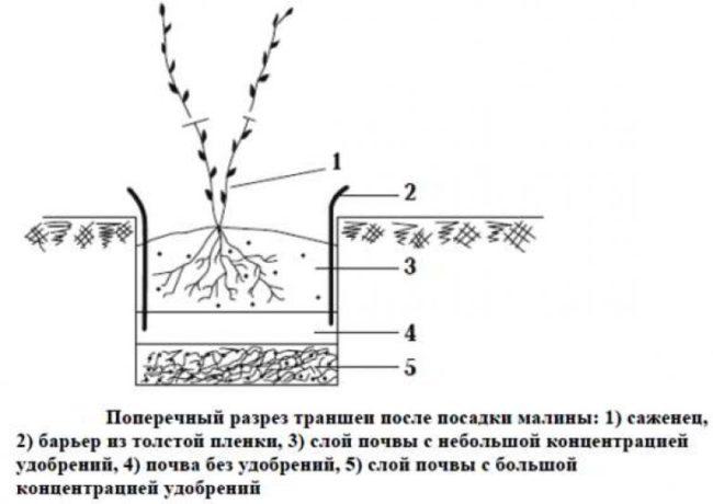 Поперечный разрез траншеи для осенней посадки малины