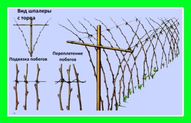 Схема шпалеры для подвязки побегов малины