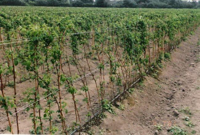 Кусты малины Глен Ампл, закрепленные на проволочных шпалерах