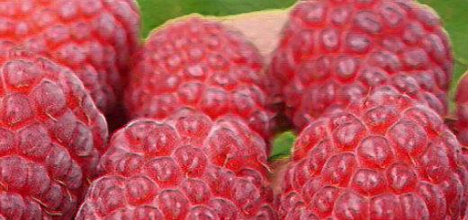 Плоды малины Солнышко вблизи