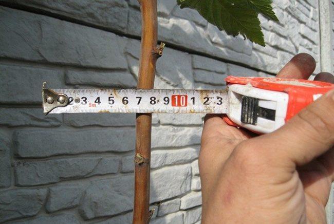 Измерение толщины ветки малины штамбового сорта