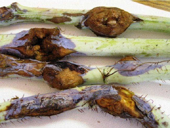 Пораженные личинками галлицы стебли ремонтантной малины