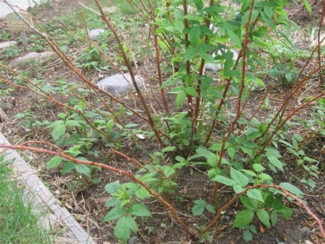 Стебли малины с распустившимися листочками