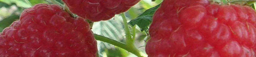 Ягоды малины столичная вблизи на кусте