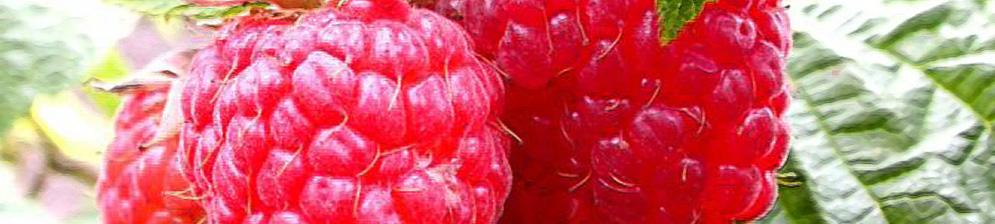 Малина Таганка плоды спелые вблизи