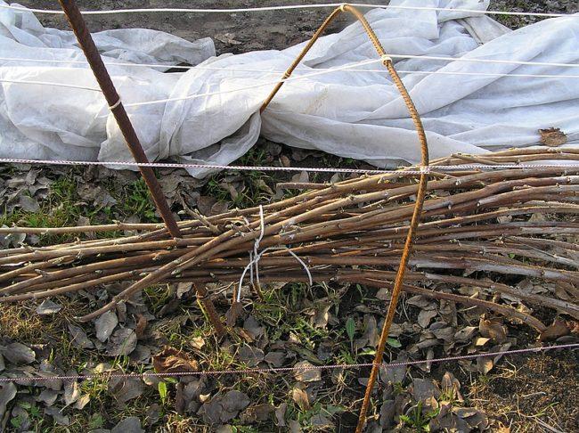 Укрытие малины сорта Награда осенью для комфортной зимовки