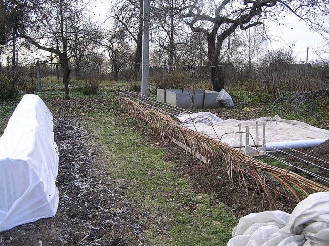 Пригнутая к земле малина готова для зимнего укрытия