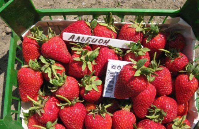 Ящик с ягодами клубники сорта Альбион