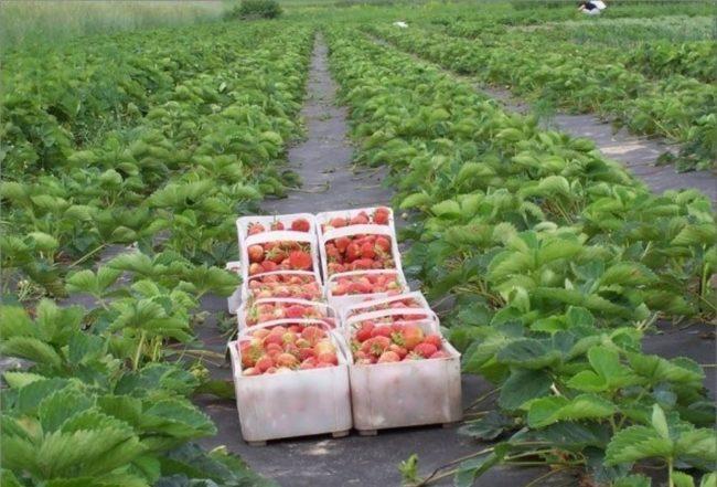 Пластиковые ящики со спелыми ягодами клубники, собранными в поле