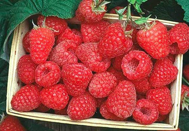 Коробка со спелыми ягодами малины сорта Терентий