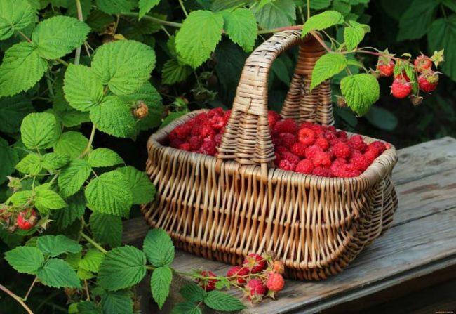Берестяное лукошко с урожаем вкусных ягод малины