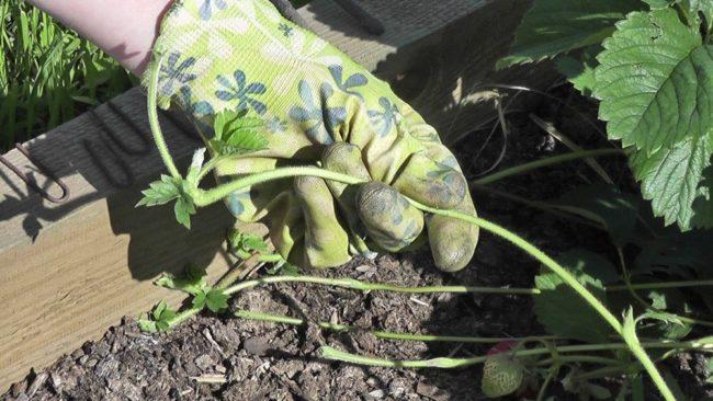 Усы клубники для размножения рассадным способом