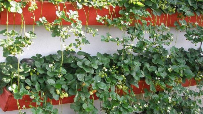 Длинные балконные горшки с клубникой