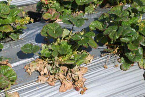 Вертициллёзное увядание листьев клубники