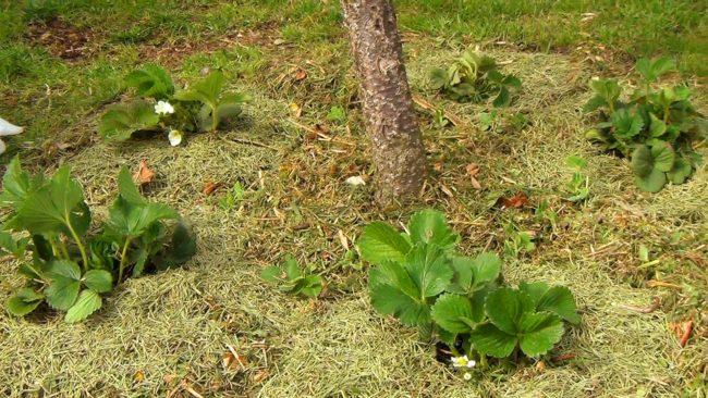 Растущая клубника в саду весной