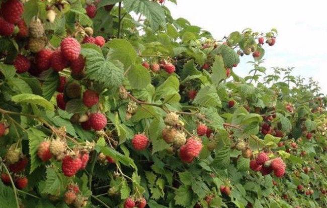 Ветки малины Глен Ампл усыпаны спелыми ягодами