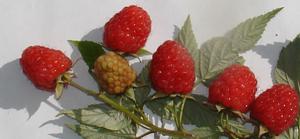 Веточка малины Мишутка с плодами вблизи