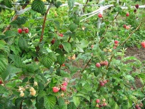 Малина Мишутка – ягода среднего срока созревания