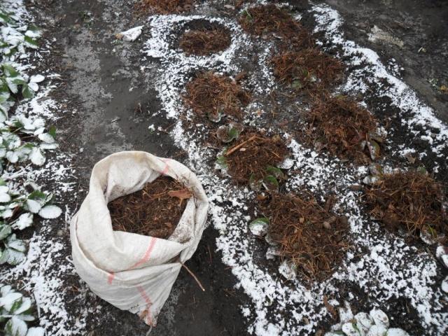 Укрытие клубники на зиму перегноем
