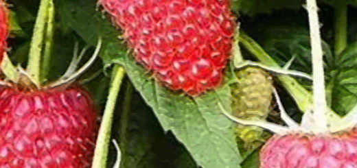 Плоды малины Вольница вблизи на кусте