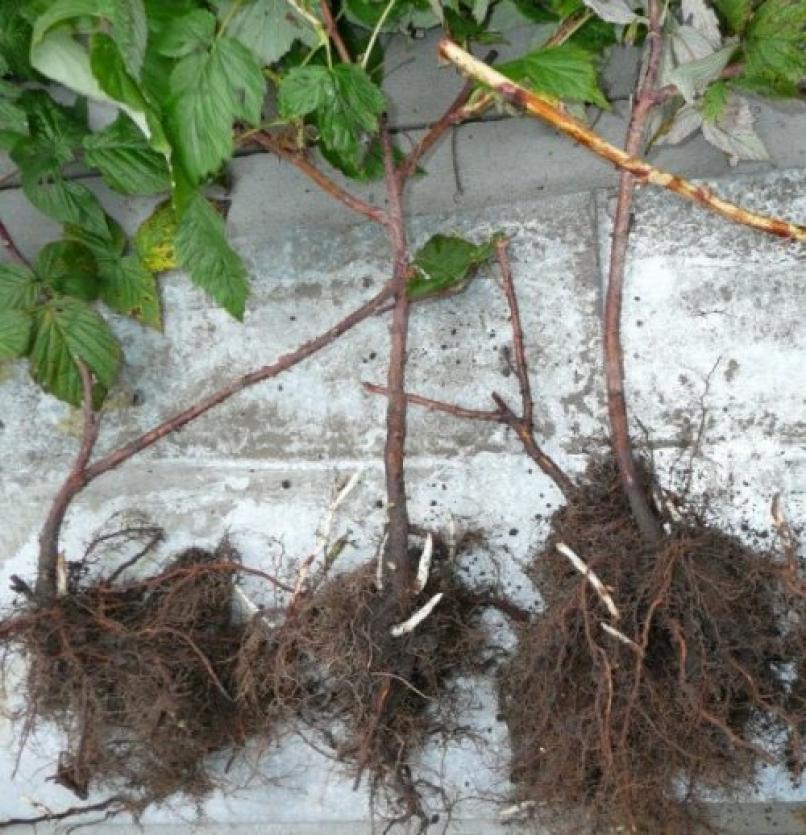 Как сажать малину осенью с корнями 28