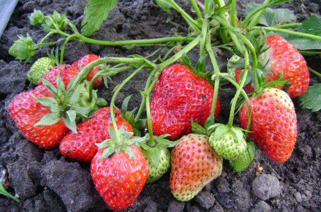 Крупная ягода ремонтантной клубники сорта королева елизавета