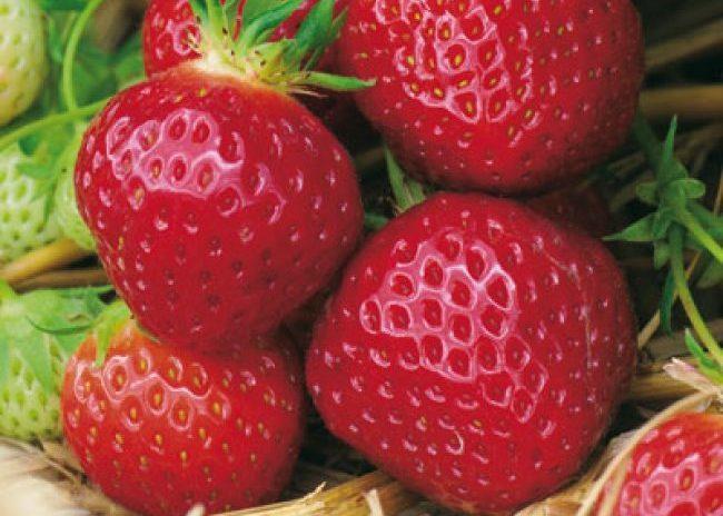 Округлые плоды клубники сорта пандора