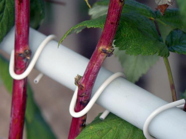 Прикрепленные к шпалере ветки малины Терентий