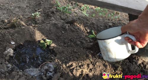 Проливаем саженцы клубники обильно водой из металлической чашки