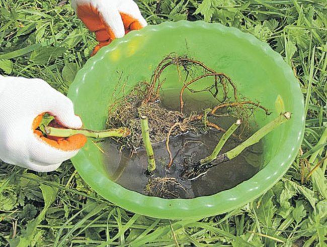 Обработка корней малины Таганка раствором корнеобразователя