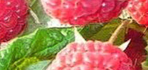 Плоды малины жар-птица вблизи на кусте