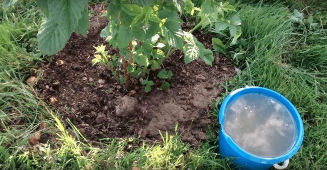 Летняя подкормка куста малины жидким удобрением