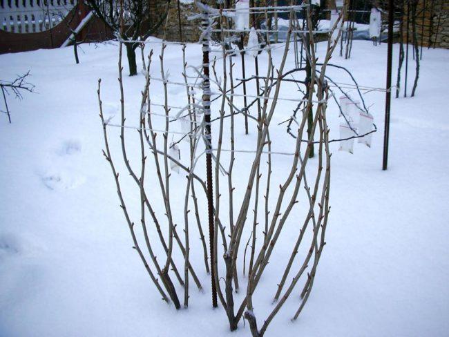 Малина зимой в саду подвязанная