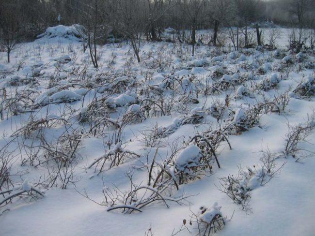 Ряды малины лячка должны уходить в зиму пригнутыми к земле