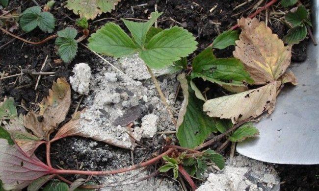 Кустик садовой клубники в начале сентября, осенняя подкормка печной золой