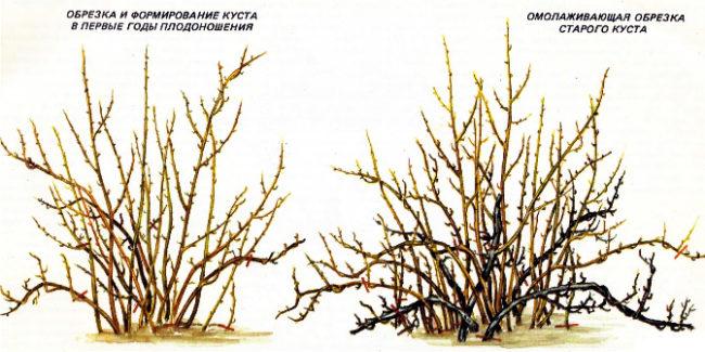 Схема правильной классической обрезки куста крыжовника