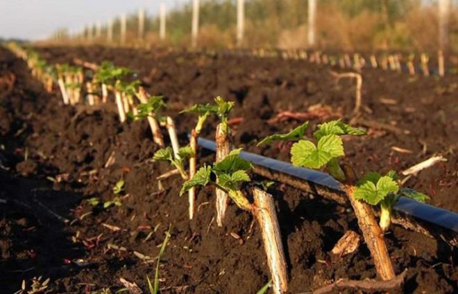 Выращивание черенками черную смородину 78