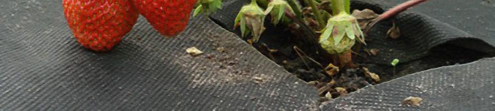 Укрывание клубники с плодами агроволокном