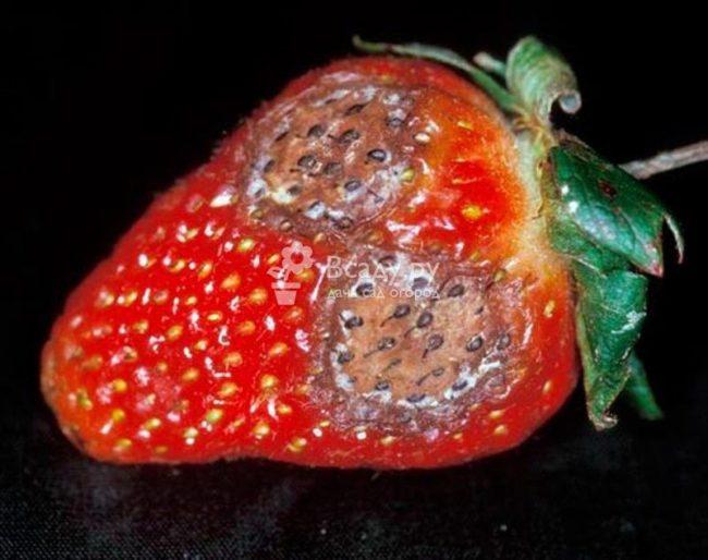 Больная ягода клубники с гнилыми пятнами вследствие заболевания антракнозом