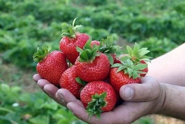 Горсть спелых ягод клубники сорта Бирюлевская Ранняя