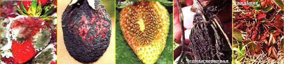 Основные болезни клубники на плоде