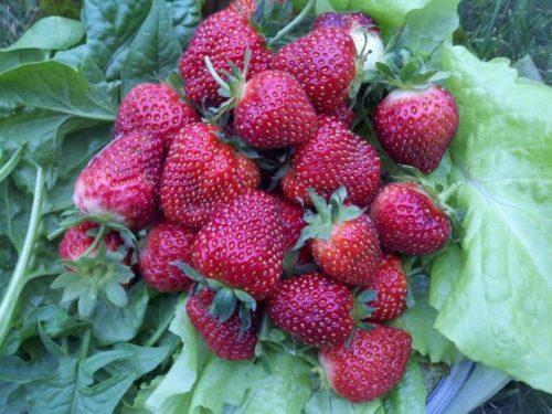 Горстка крупных ягод клубники сорта Черный принц
