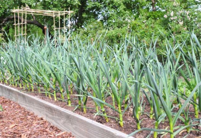 Грядка чеснока на месте клубники, соблюдаем севооборот садовых культур