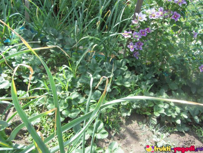 Чеснок, клубника и цветы на одной грядке
