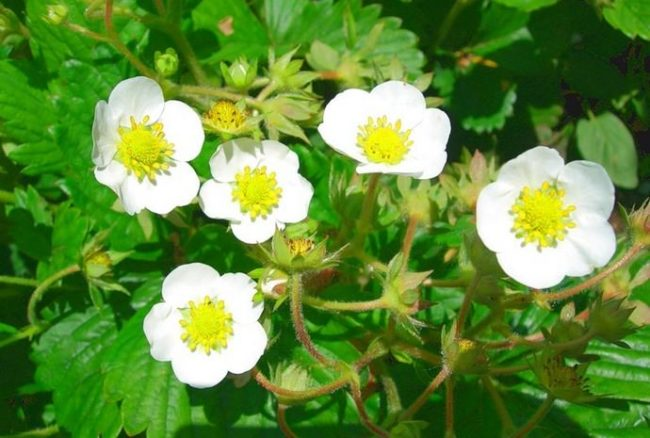 Цветки клубники сорта Капри
